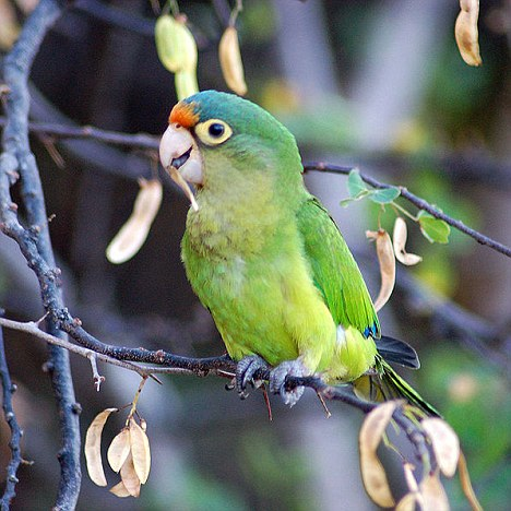 Parakeets in Costa Rica Mimic Each Other to Start 'Discussions'