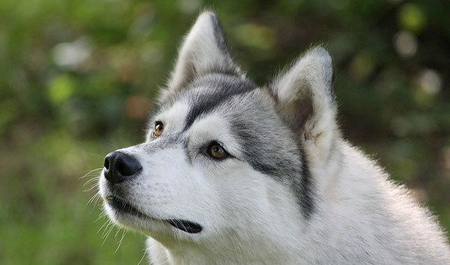 Siberian-Husky-1-645mk062811