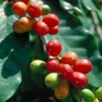 Coffee fruit – Coffea arabica