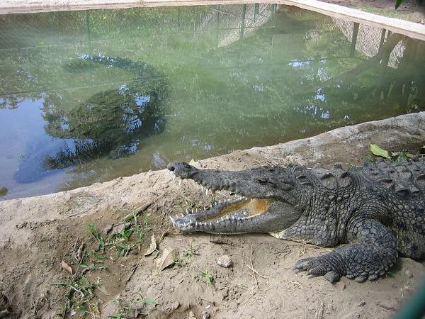 Crocodile_farm_in_Mexico