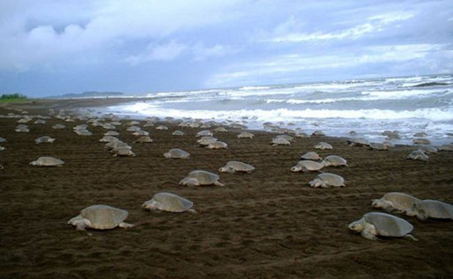 olive-ridley-turtles-mexico.jpg1369069599
