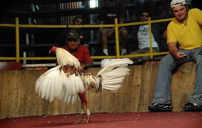 cockfight-costarica2