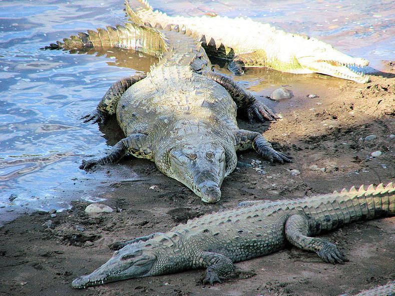 "Crocodiles ""Lazying"" Around in Tarcoles, Costa Rica"