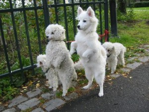 White_dogs_on_hind_legs-500