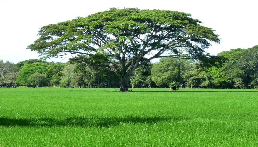 The Guanacaste tree is the simple of Costa Rica's Pacific coast province.