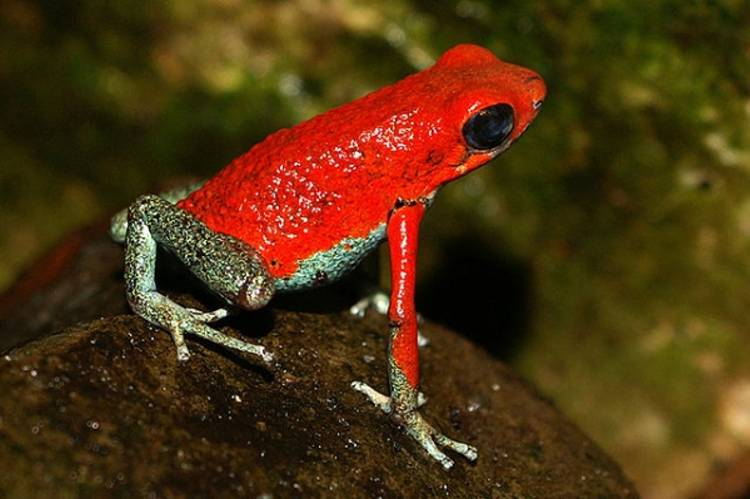 A study of various colored poison-dart frogs suggests that mating behaviors of green versus red frogs of the same species are not exactly the same. Pictured is a red granular poison frog, Oophaga granulifera. (Photo : Wikimedia Commons )