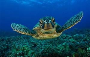 green_sea_turtle