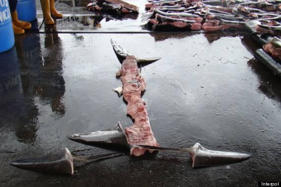 o-SHARK-FIN-570