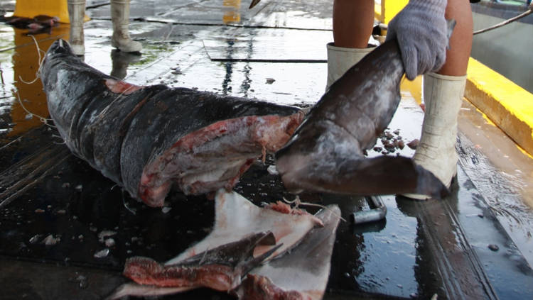Shark fins are hacked — legally in this case — off a frozen shark carcass in the Costa Rican port of Puntarenas. The practice of cutting off sharks' fins at sea and throwing the rest of the body back is illegal in Costa Rica, but still persists.