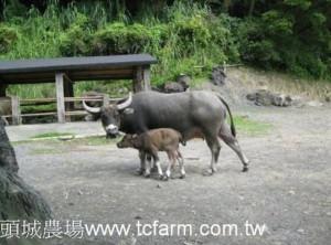 buffalo-tcfarm-tw