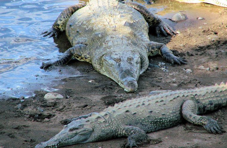 14 Crocodiles Escape From Resort in Costa Rica's Northern Zone