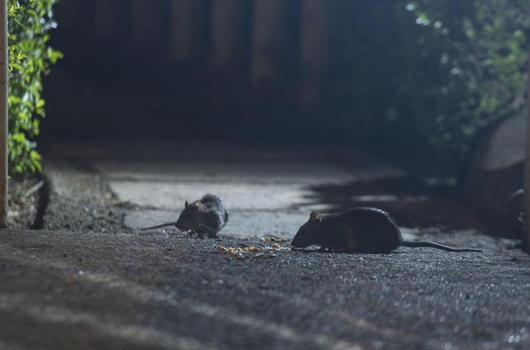 San José Battles Rat Infestation