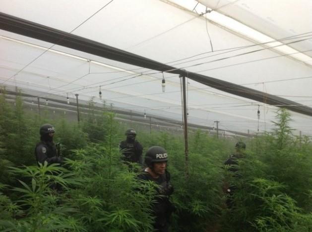 Police raid on a greenhouse where marijuana and opium poppies were grown in La Cumbre, in the Honduran municipality of La Iguala. Credit: Courtesy of Policía Nacional.