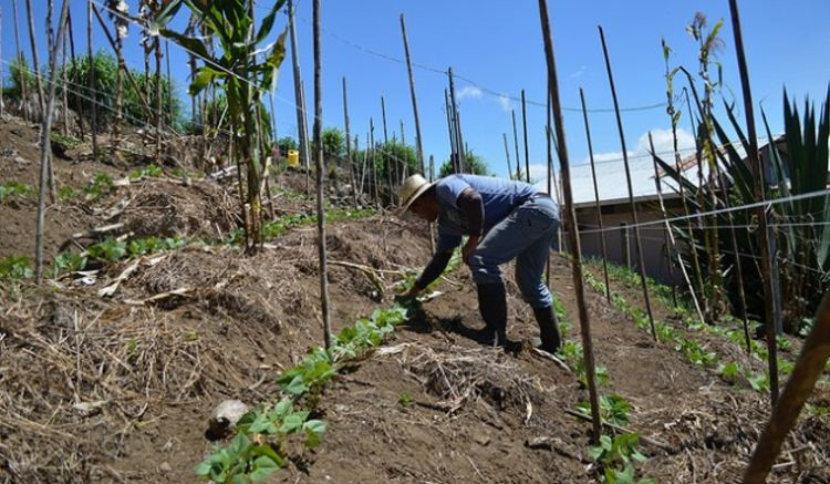 José Alberto Chacón weeds between bean plants on his small farm in Pacayas, on the slopes of the Irazú volcano, in Costa Rica. The terraces help control water run-off that would otherwise cause soil erosion. Credit: Diego Arguedas Ortiz/IPS