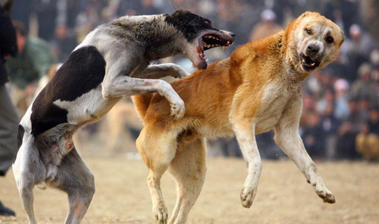 Afghan+Dog+Fighting+Makes+Resurgence+After+4IZdJku2GYkl