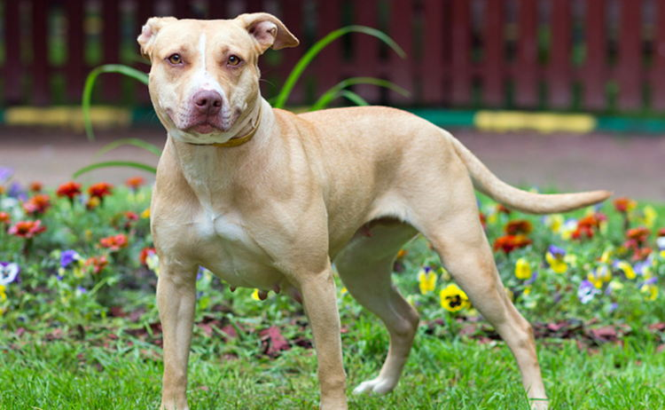 """There's a great deal of confusion associated with the label """"pit bull."""" This isn't surprising because the term doesn't describe a single breed of dog."""