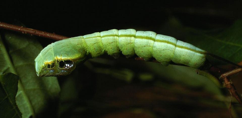 CATERS_snake_caterpillar_05-1024x499