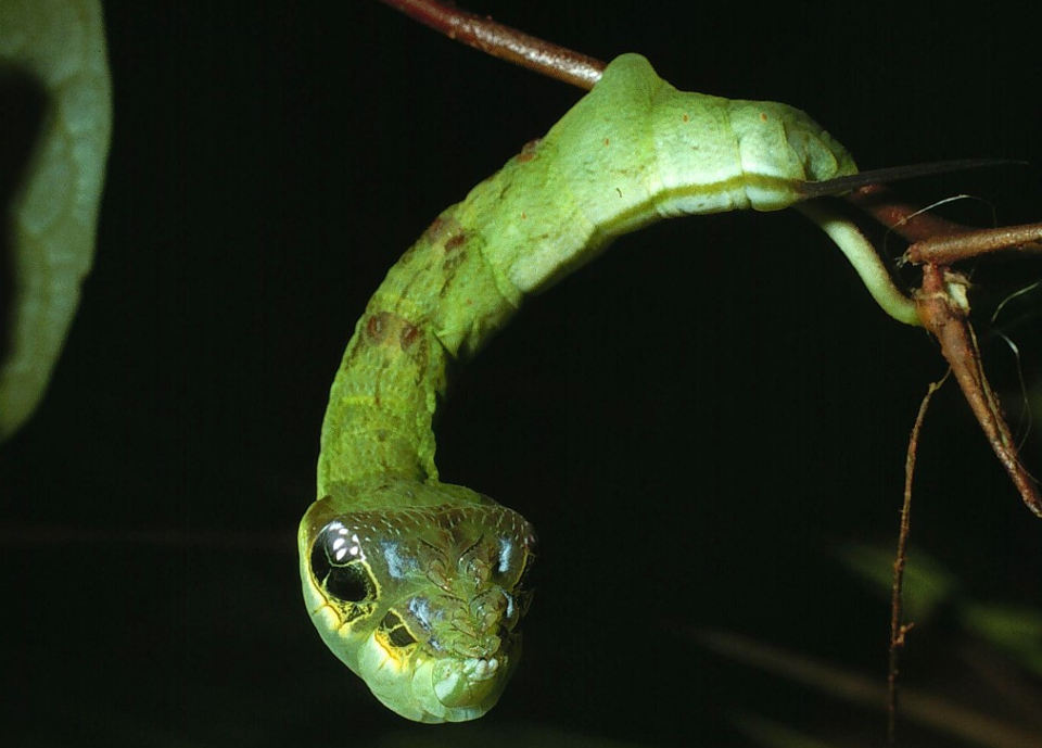 Professor Daniel Janzen photographs the snake-like bug that wards off predators by looking and acting like a snake; found in Costa Rica, Guatemala, and Belize.