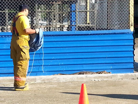 Croc Found in Cuidad Neily Hospital Parking Lot