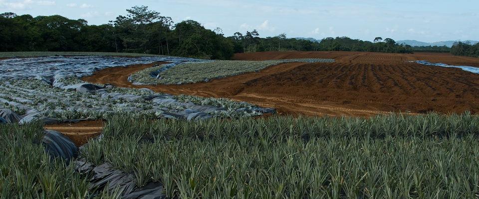 Organic-pineapple-field-finca-corsicana1
