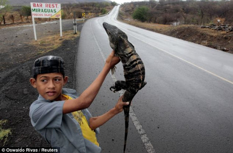 A boy holds up an iguana for sale on the highway in the north of Managua, Nicaragua, in May. He is selling the iguana for 300 Cordobas (US$12)