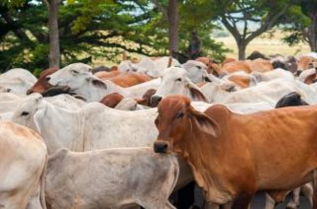 nicaraguan-cattle_19-141065