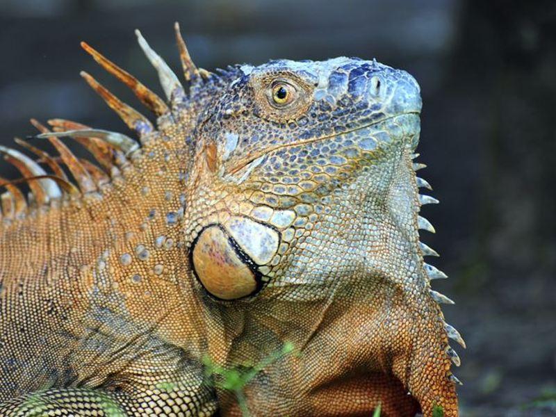 Green iguanas also live in the Tortuguero.