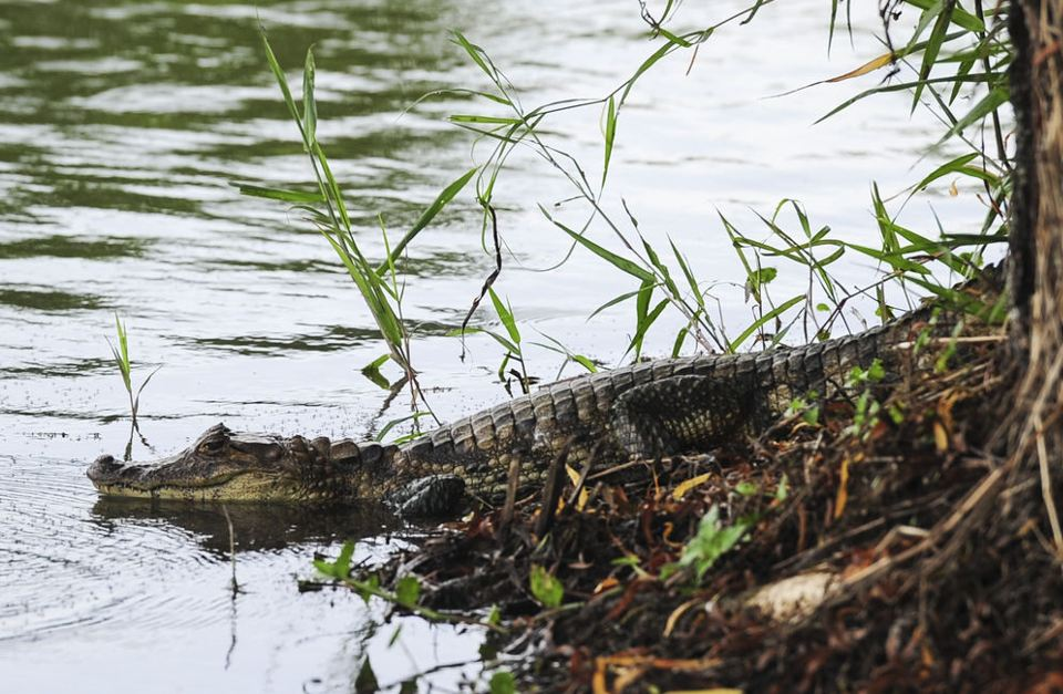 Residents reported the presence of the caimán (crocodile) in the lake for the past month. (Photo: Gabriela Téllez)