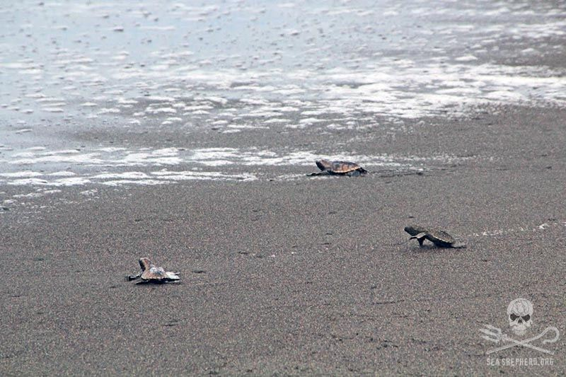Newly hatched sea turtles make their way safely to the sea