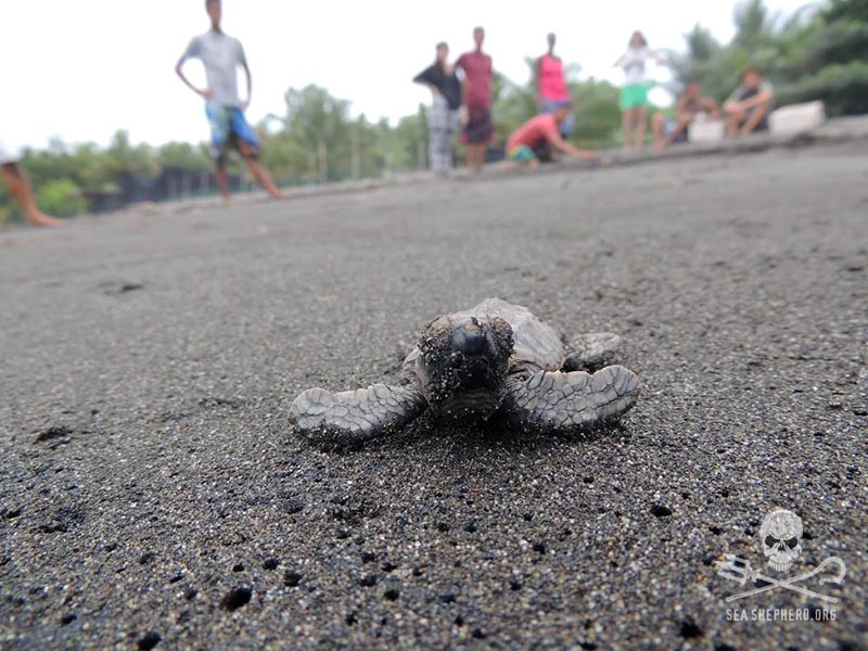 Newly hatched sea turtles make their way safely to the sea. | Photo: seashepherd.org