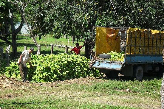 Nearly all banana workers in Costa Rica are organized in unions