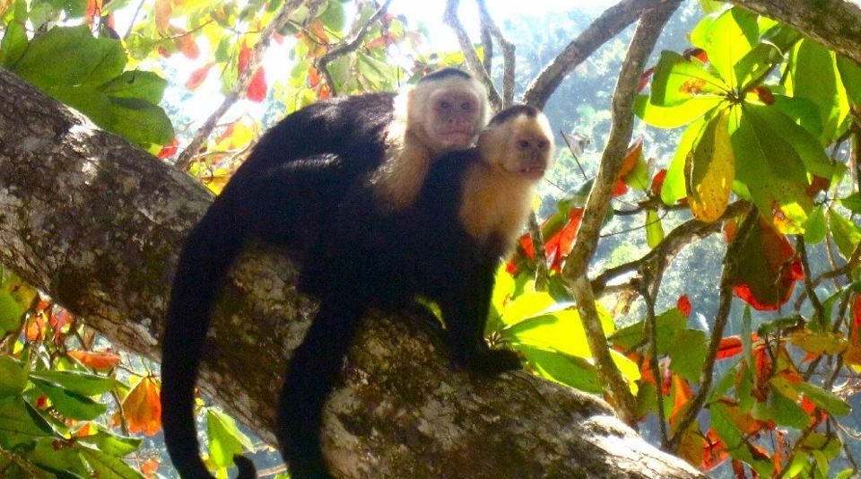 Costa Rica, Western Coast, White Faced Capuchin Monkeys, at Manuel Antonio National Park on the Pacific Coast of Costa Rica. Photo: Michael Aliberte