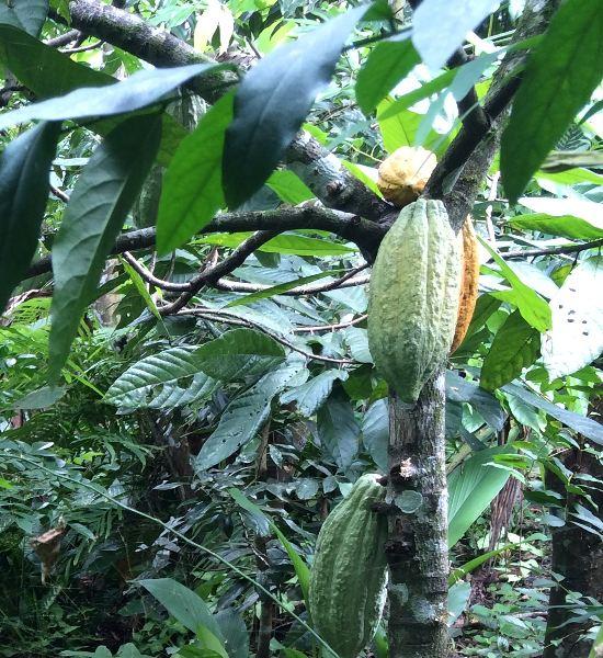 Cocoa plant (Matastal, Puriscal). Photo. Qmedia.
