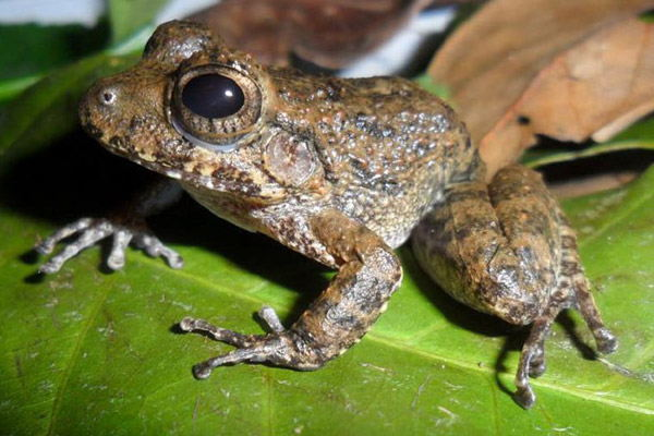 Adult male of the South Pacific streamside frog. Photo by: Gerardo Chaves