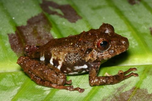 UNM scientists documented extreme changes in leaf-litter frog populations that coincided with the La Niña event.