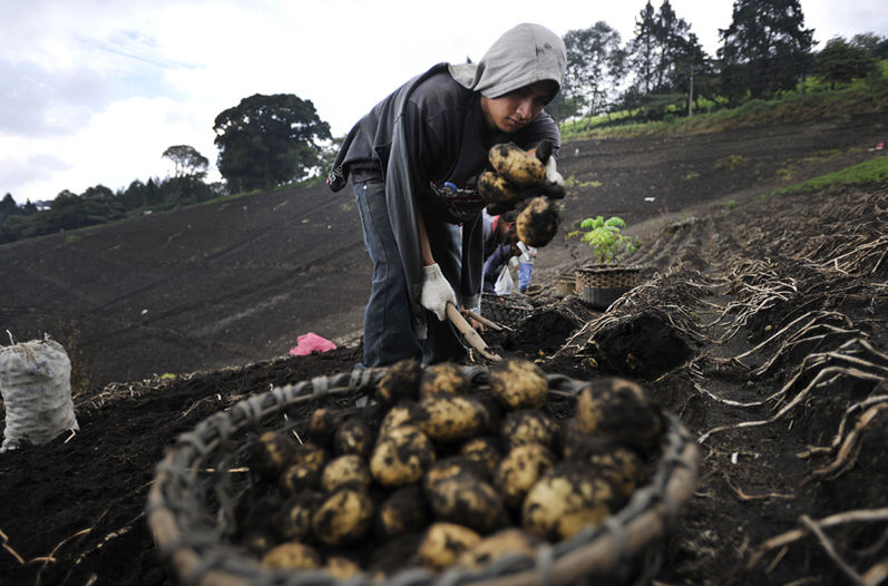 Costa Rica currently produces potato table, which has characteristics for use in industry. Already progress in the development of new varieties destined for agribusiness. | RAFAEL MURILLO