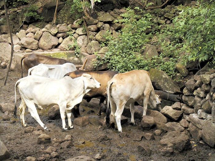 Bovine Rabies in Honduras