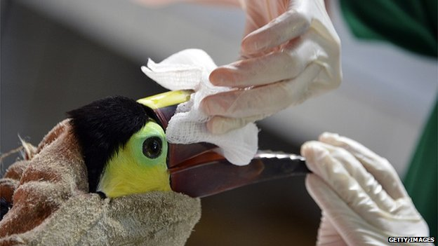 Grecia's wounds have to heal a bit more before the toucan's beak can be scanned
