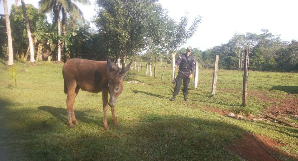 Rescued mule in the care of police. Photo Carlos Hernández, La Nacion