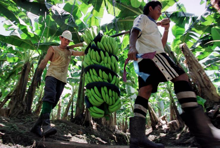 Two workers carry bananas on a banana plantation in the town of Siquirres, Costa Rica, 130 kilometers (81 miles) east of San Jose. Reuters