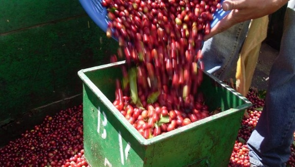 Coffee production has historically played an important role in Costa Rica's agricultural economy. | Photo: EFE