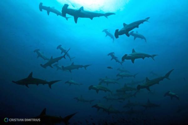Schooling hammerheads near Cocos Island, Costa Rica. Photo © Cristian Dimitrius for Shark Team One.