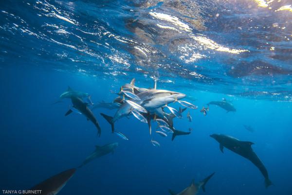 Silky sharks in a bait ball near Cocos Island, Costa Rica. Photo © Kevin Palmer and Tanya Burnett for Shark Team One.