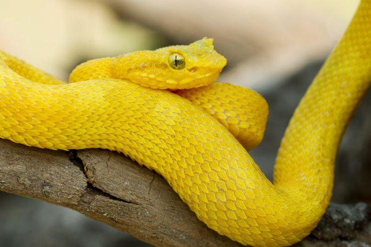 full-Yellow-Eyelash-Palm-Pitviper
