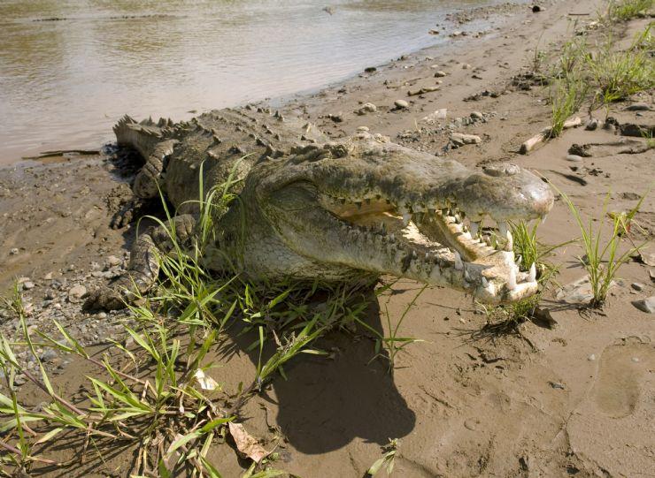 full-american-crocodile-tarcoles-river
