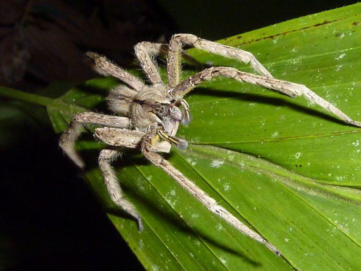 full-brazilian-wandering-spider