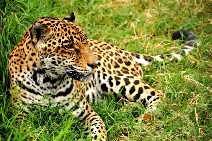 full-endangered-jaguar-costa-rica