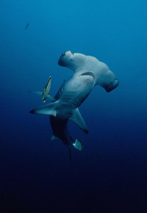 Hammerhead shark in Costa Rica © Avi Klapfer