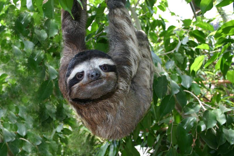 Linus_three-toed_sloth