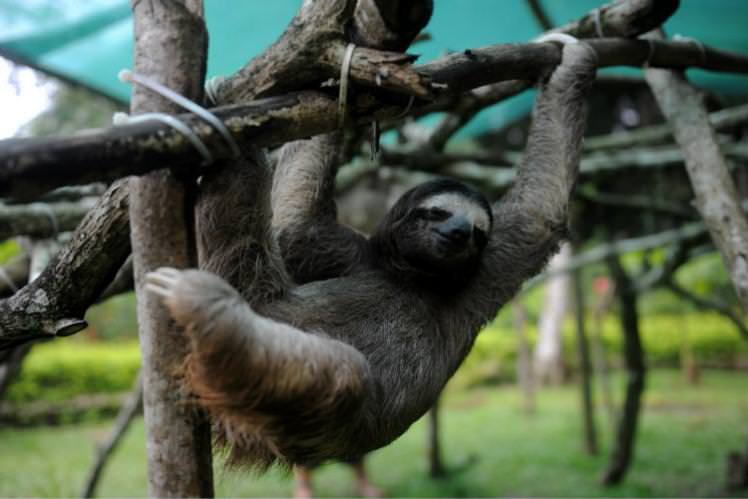 Hang out with a furry friend at the Sloth Sanctuary in San Jose. Image by Rodrigo Arangua / AFP / Getty Read more: http://www.lonelyplanet.com/travel-tips-and-articles/best-value-destinations-for-2016#ixzz3qWRsiOx5